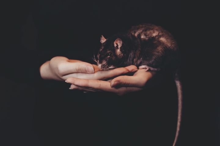 Крыса на руках