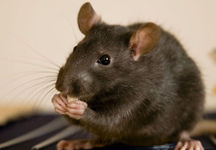 Серая крыса ест сыр