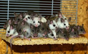 Гороскоп здоровья для Крыс на 2020 год