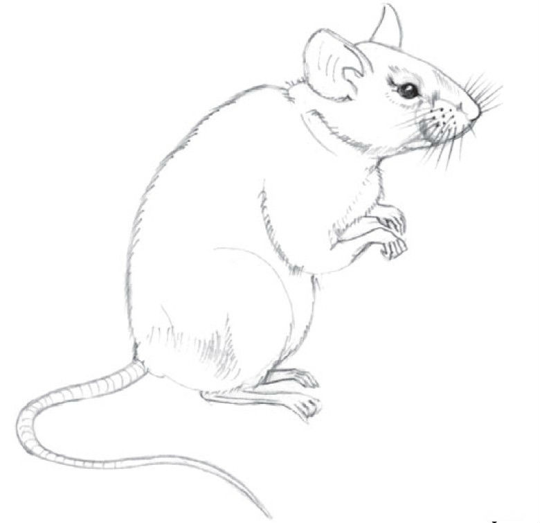 Как нарисовать крысу карандашом