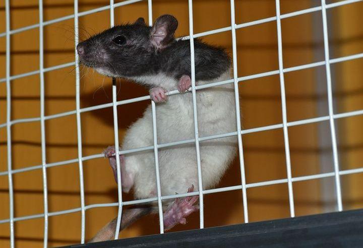 Крыса пытается выбраться из клетки