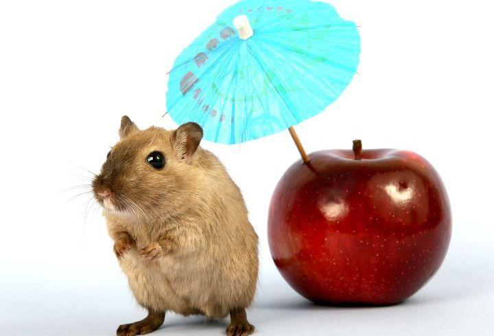 Крыса и яблоко