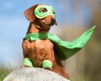 собака в костюме супергероя