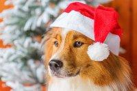 собака в красном колпаке