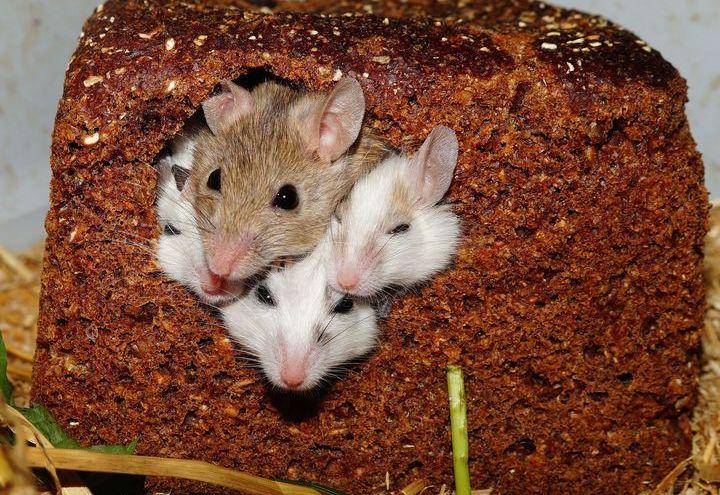 Крысята в хлебе