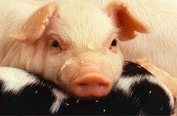 Гороскоп здоровья на 2020 год для Свиньи