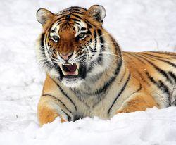 Гороскоп карьеры на 2020 год для Тигров