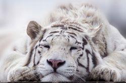 Гороскоп здоровья на 2020 год для Тигров
