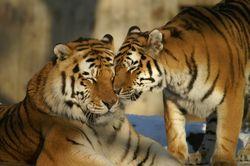 Гороскоп любви на 2020 год для Тигров