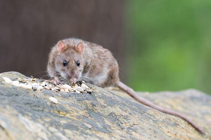 Крыса ест семечки
