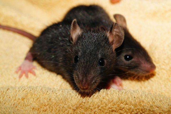 Двое крысят