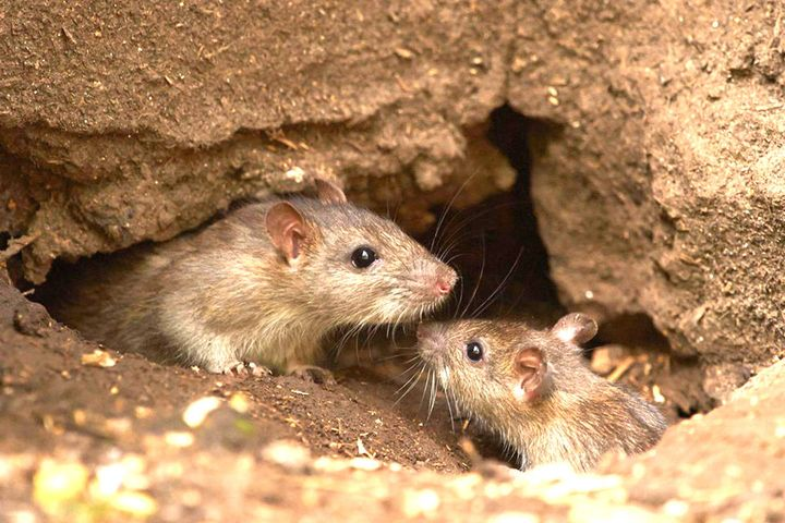 Крысы в норе