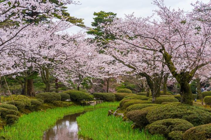 сакура в саду
