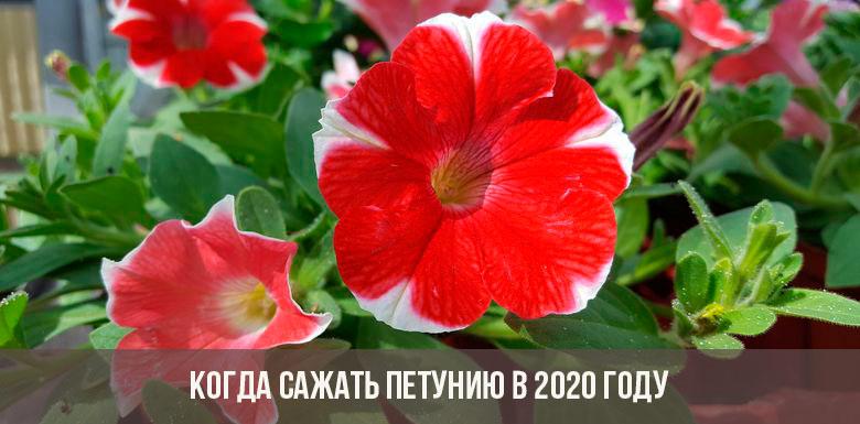 Когда сажать петунию в 2020 году
