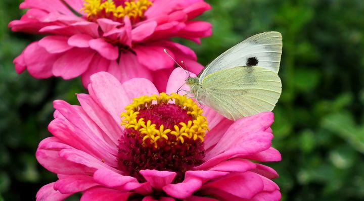 Бабочки на цинии