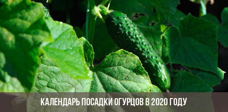 Календарь посадки огурцов в 2020 году
