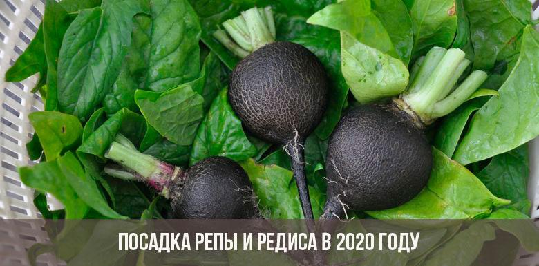 Посадка репы и редиса в 2020 году