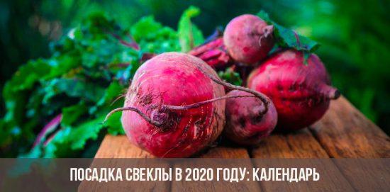 Посадка свеклы в 2020 году: видео
