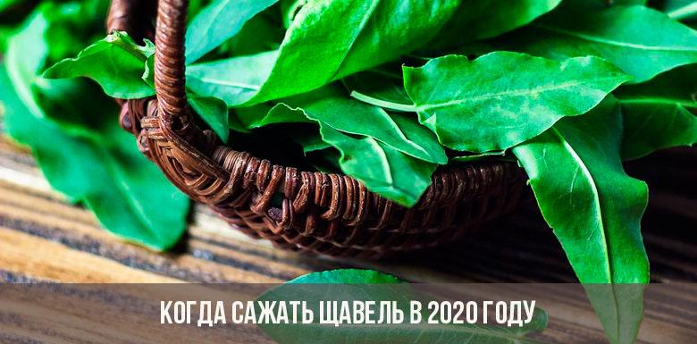 Когда сажать щавель в 2020 году