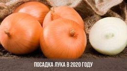 Посадка лука в 2020 году