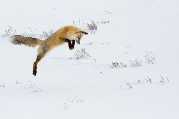 Лиса прыгает в снег