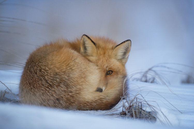 Лиса спит на снегу